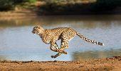Cheetah Running At Full Speed In South Africa (acinonyx Jubatus) poster