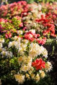 Rhododendron Plants In Bloom poster