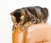 Cat Sits On Back Of Scratched Leather Armchair. Cat Scratches The Leather Furniture. poster