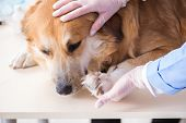 Doctor and assistant checking up golden retriever dog in vet cli poster