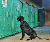 image of porta-potties  - Great Dane waiting outside a porta potty - JPG
