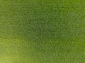 The Wheat Field Is Green. Young Wheat On The Field. View From Above. Textural Background Of Green Wh poster