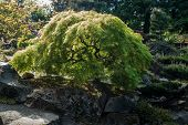 A View Of A Japanese Maple Tree In Seatac, Washington. poster