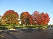 Group of Maple Trees landscaping office parking lot