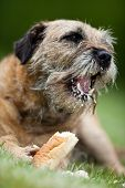 Border Terrier delightfully crunching a treat