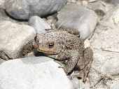 Toad (frog)