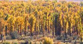 stock photo of cottonwood  - Row of Cottonwood trees in Autumn time - JPG