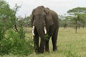 Strong Elephant Eating