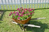 Flowers in a wheel barrow