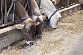 stock photo of dairy barn  - Row of feeding dairy cows in a stable on a farm
