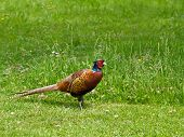 picture of game-cock  - Cock Common Pheasant showing beautiful coloured plumage and red eye wattle - JPG