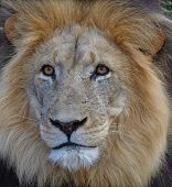 Close-up Of A Lions Face With A Mane poster