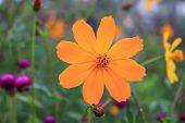 Beautiful Blurry Orange Cosmos Flower On Nature Background In Garden,cosmos Flower On Blurry Flower  poster