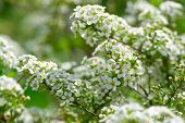 Branch Of White Spiraea. Branch Of A Blossoming Spring Bush White Spiraea On Blurred Green Nature Ba poster