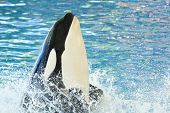 Close Up Of A Killer Whale (orcinus Orca) Performing In A Whale Show poster