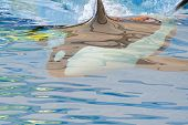 Close Up Of A Killer Whale (orcinus Orca) Swimming Underwater During A Whale Show poster