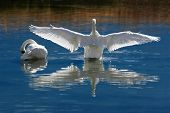 Courting Trumpeter Swans