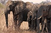 Eliphants In Tarangire