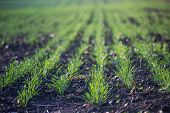 Young Green Wheat Growing In Soil. Agricultural Proces. Field Of Young Wheat Seedlings Growing In Au poster