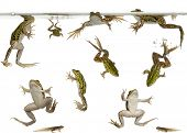 stock photo of tadpole  - Edible Frogs - JPG