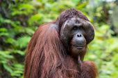 Orangutan, Adult Male, Close-up Of Face And Hair In The Nature Of Borneo, Malaysia (sarawak Kuching  poster