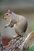 Eastern Gray Squirrel (Sciurus carolinensis