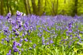 The Bluebell Wald