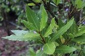 Green Bay Leaf Growing In Organic Garden, Spice Ingredient Background.the Bay Leaf Is An Aromatic Le poster