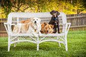 Tres perros posando en la silla al aire libre