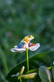 Red-eyed Tree Frog, Agalychnis callidryas, sitting on the green leave in tropical forest in Costa Ri poster