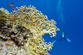 stock photo of fire coral  - coral reef with yellow fire coral and diver at the bottom of red sea in egypt - JPG