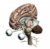 Brain parts - isometric front view