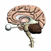 Brain parts - Lateral view