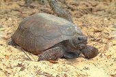 Gopher tortuga (gopherus Polyphemus)