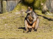 picture of tammar wallaby  - Swamp wallaby is relaxing in the sun - JPG