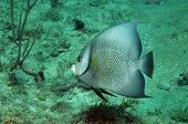 Gray Angelfish In Ocean