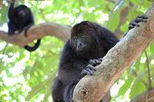 Black Howler Monkeys in Belize