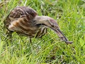 American Bittern with Frog