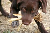 Dog Chewing on Corn Husk