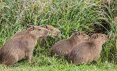 Small Capybaras