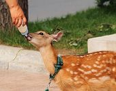 Fawn Sucking Milk From The Nipples