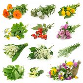 Collection of fresh medicinal herb isolated on white background
