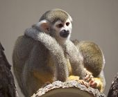 Common Squirrel Monkey in Zoo