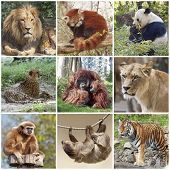 Animals collage with lion, red panda, panda, cheetah, tiger, monkey and sloth