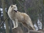 White arctic wolf in a zoo
