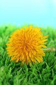 Dandelion flower on grass on bright background