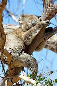 Koala, Australia