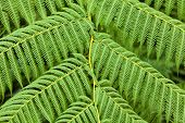 Background of giant fern leaves in the rain forest at Guadeloupe National Park