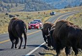 Buffalo in Yellowstone NP