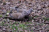 Pair Of Collared Doves.